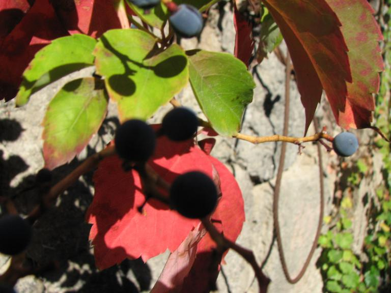 wilder wein parthenocissus quinquefolia. Black Bedroom Furniture Sets. Home Design Ideas