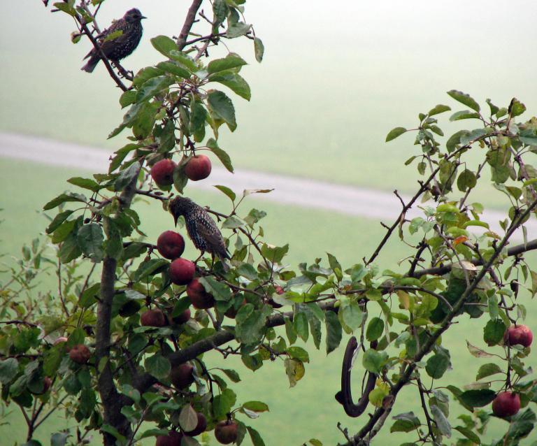 ein gepflegter apfelbaum mit boskoop pfeln die im handel schwer erh ltlich sind. Black Bedroom Furniture Sets. Home Design Ideas