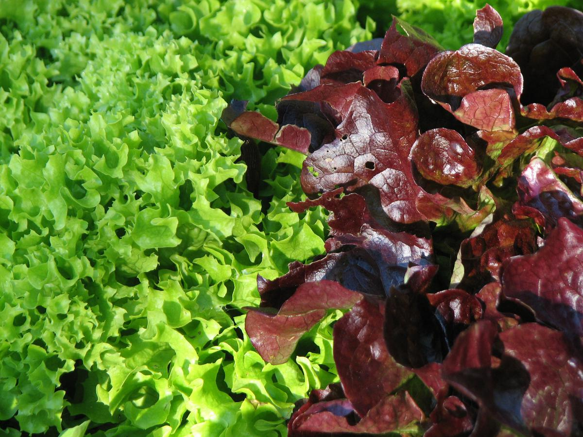 pfl cksalat schnittsalat babyleaf salat wildfind. Black Bedroom Furniture Sets. Home Design Ideas