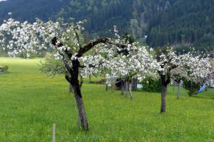 apfelbaum elstar blüht nicht