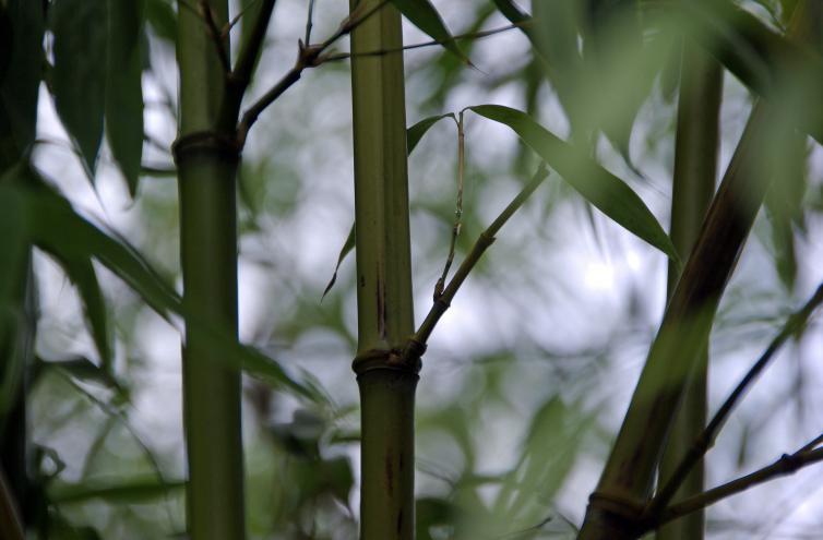der bisset bambus phyllostachys bissetii bildet je. Black Bedroom Furniture Sets. Home Design Ideas