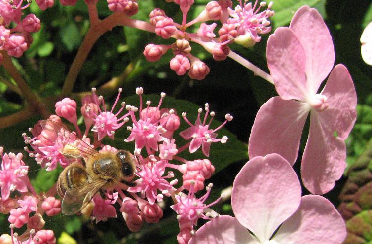japanische tee hortensie hydrangea serrata 39 oamacha 39 mit. Black Bedroom Furniture Sets. Home Design Ideas