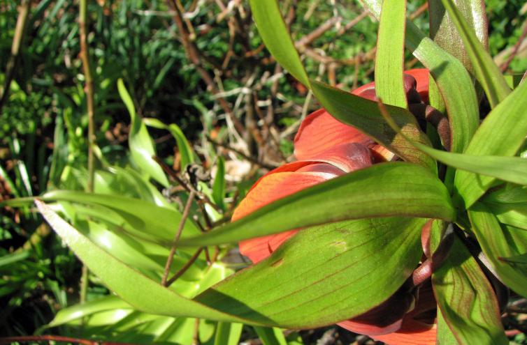 Kaiserkrone, Fritillaria imperialis