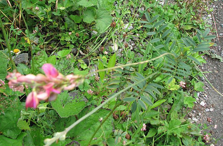 Saat-Esparsette, Onobrychis viciifolia