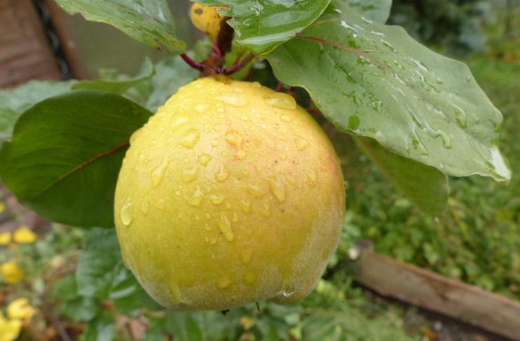 Wann Süßkartoffeln Ernten : der richtige erntezeitpunkt ist da die farbe wechselt von gr n auf gelb ~ Buech-reservation.com Haus und Dekorationen