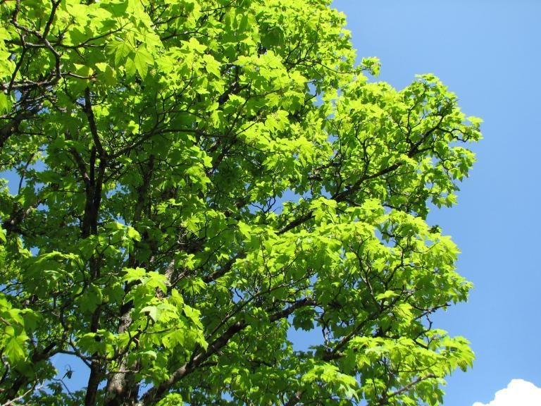 Berg-Ahorn, Acer pseudoplatanus