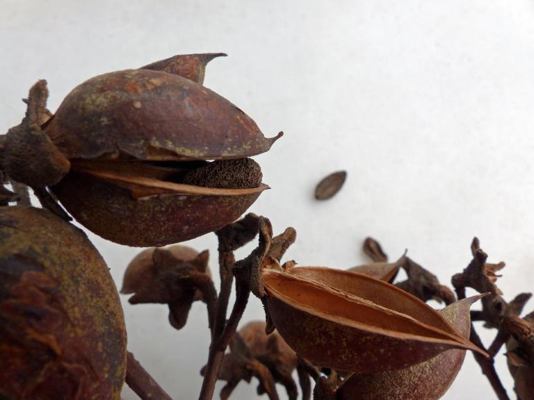 blauglockenbaum paulownia tomentosa. Black Bedroom Furniture Sets. Home Design Ideas