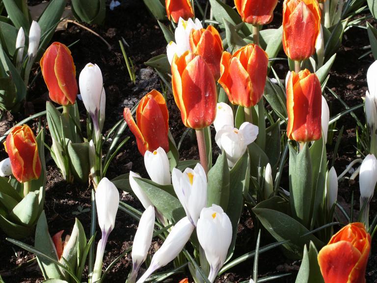 tulipa kaufmanniana early hearvest tulpe. Black Bedroom Furniture Sets. Home Design Ideas