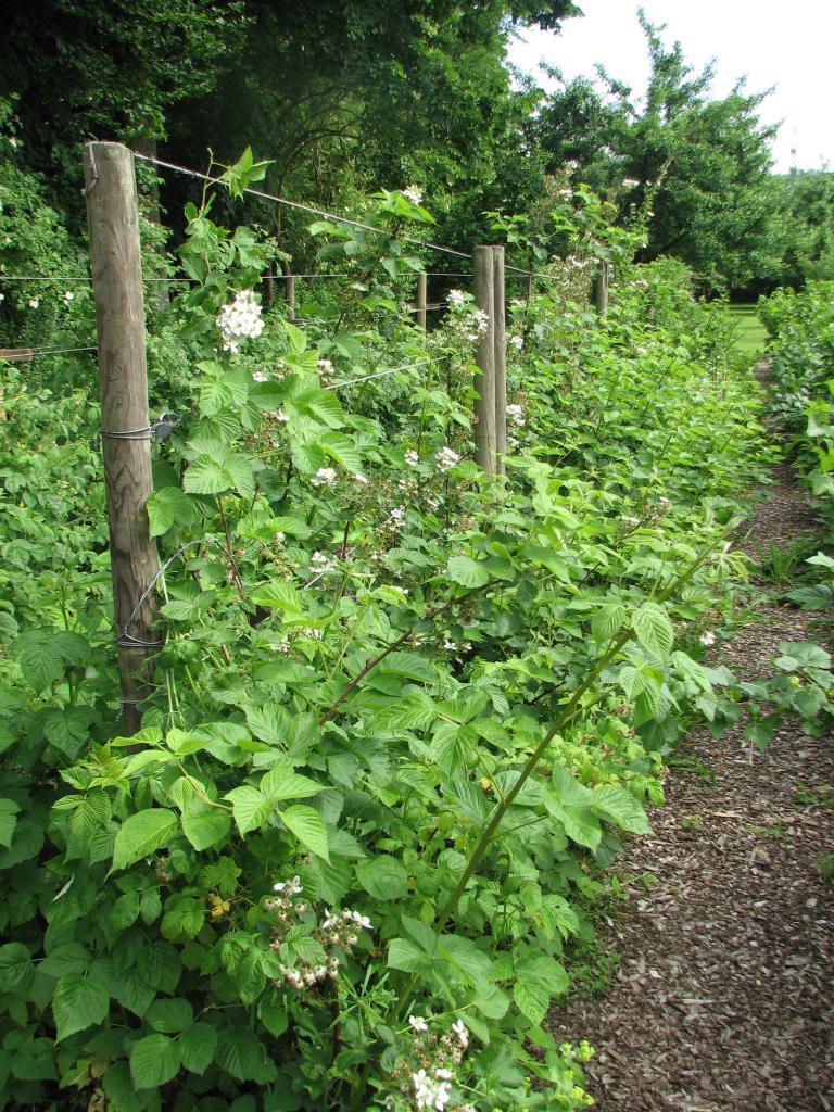 Brombeere rubus fructicosus for Fruchtfliegen pflanzen