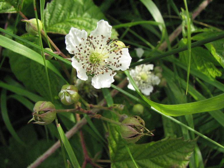 Brombeere rubus fructicosus for Fruchtfliegen in pflanzen