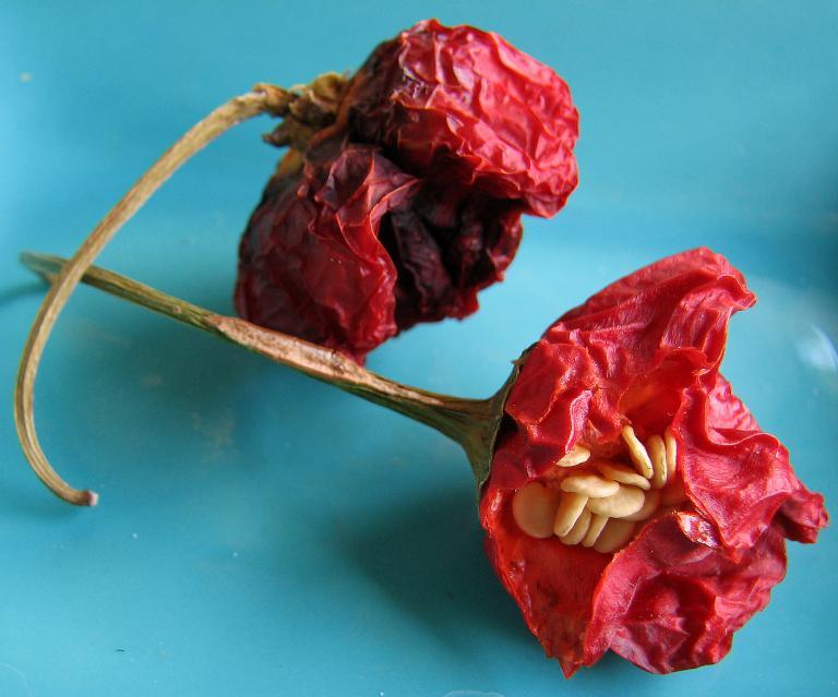 capsicum baccatum bishop 39 s crown chili nepalese bell pepper glockenpaprika. Black Bedroom Furniture Sets. Home Design Ideas