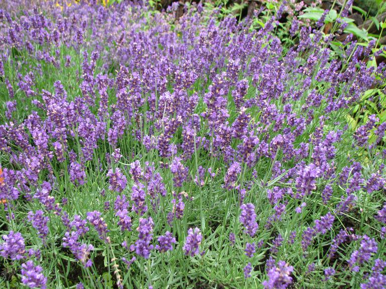 lavendel standort fabulous bild vergrern with lavendel. Black Bedroom Furniture Sets. Home Design Ideas