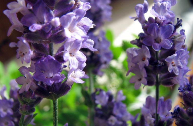 echter lavendel lavandula angustifolia. Black Bedroom Furniture Sets. Home Design Ideas