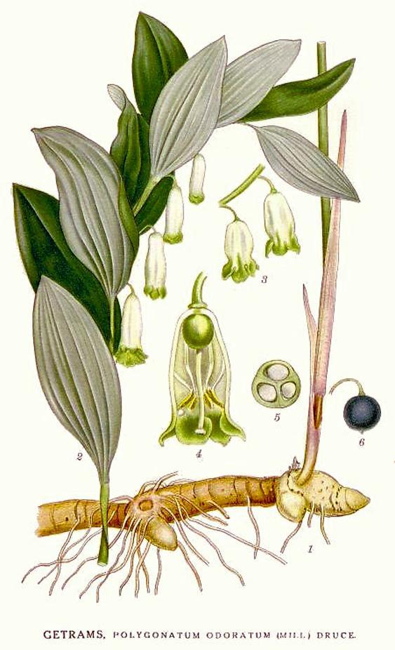 Echtes Salomonssiegel, Polygonatum odoratum