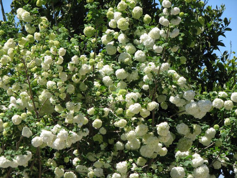 gef llter schneeball viburnum opulus 39 roseum 39. Black Bedroom Furniture Sets. Home Design Ideas