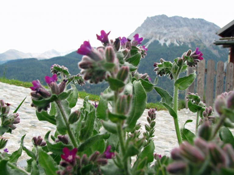 Ochsenzunge Anchusa officinalis Heilpflanze Blattgemüse