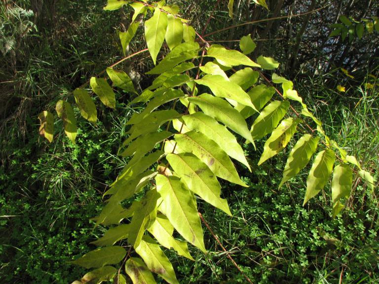Götterbaum, Ailanthus altissima