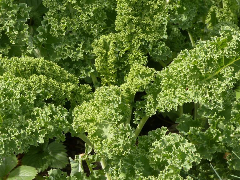 gr nkohl brassica oleracea var sabellica l. Black Bedroom Furniture Sets. Home Design Ideas