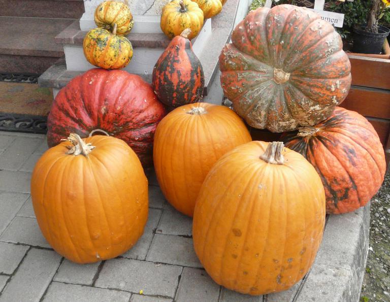 Halloweenkürbis | Cucurbita spec.