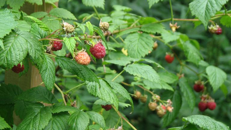 7 for Fruchtfliegen pflanzen