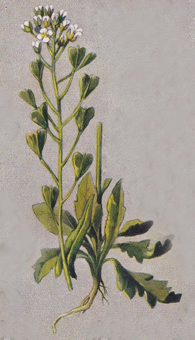 Hirtentäschel, Capsella bursa-pastoris