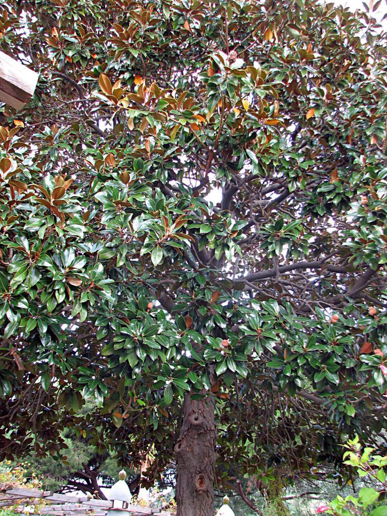 immergr ne magnolie magnolia grandiflora