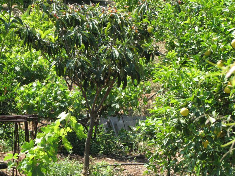 Japanische wollmispel eriobotrya japonica for Japanische pflanzen