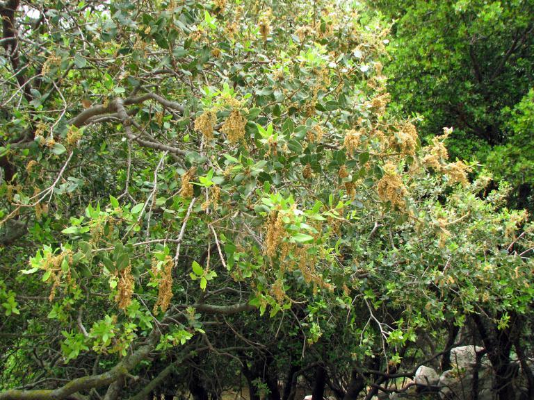 Kermeseiche, Quercus coccifera