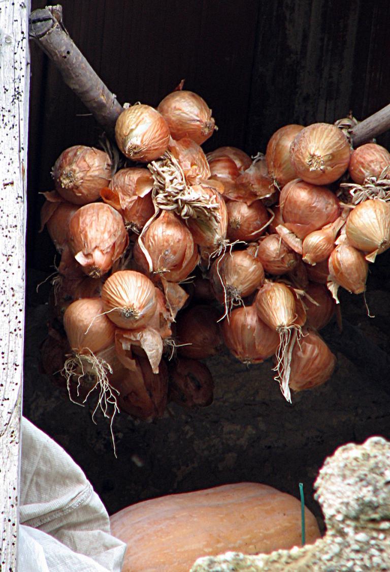 Küchenzwiebel, Allium cepa