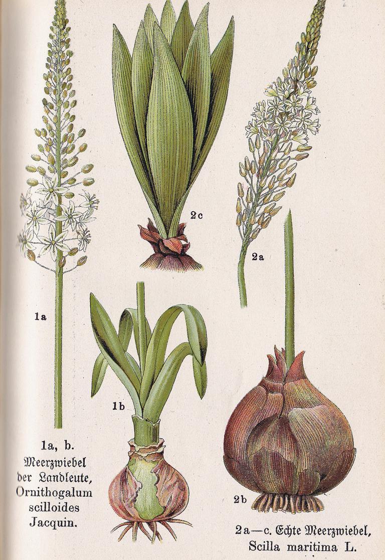 Meerzwiebel, Drimia maritima