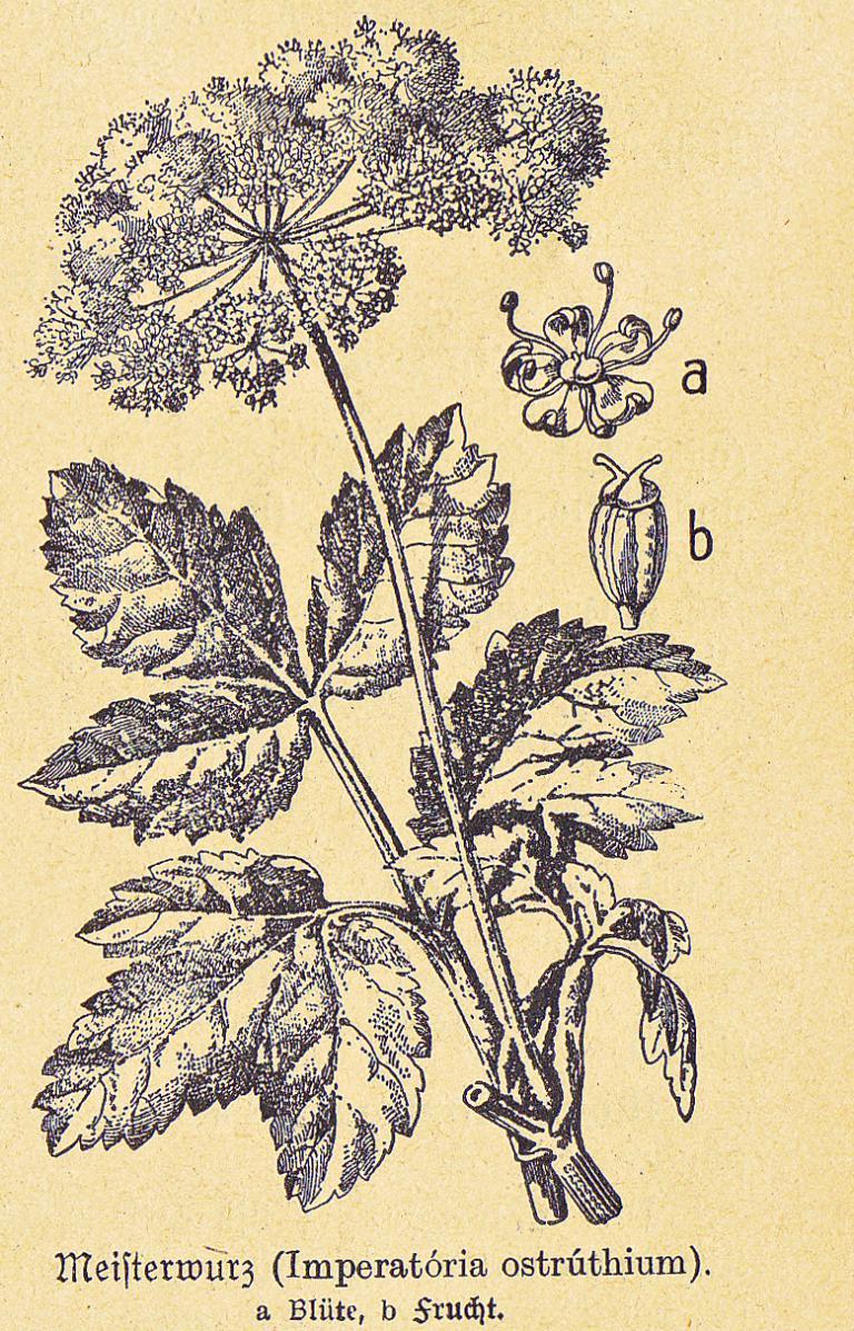 MEISTERWURZ  150 Samen Peucedanum Osthruthium Heilpflanze