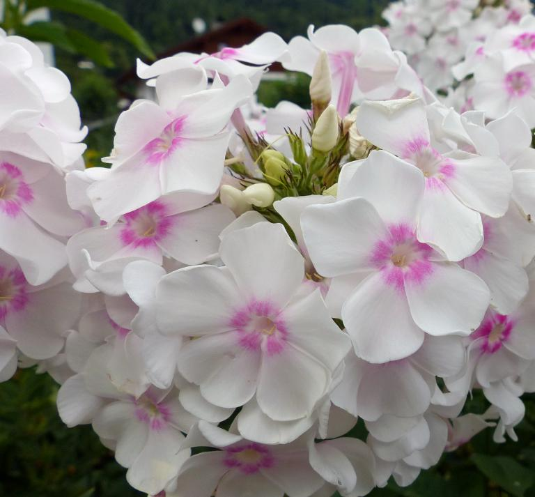 phlox paniculata 39 graf zeppelin 39 eine z chtung von pfitzer. Black Bedroom Furniture Sets. Home Design Ideas