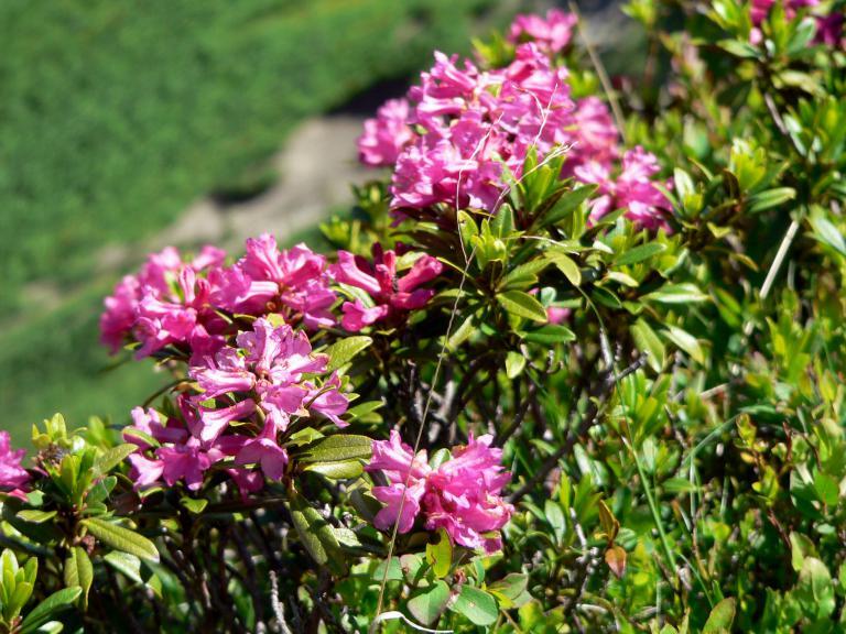 rostbl ttrige alpenrose rhododendron ferrugineum. Black Bedroom Furniture Sets. Home Design Ideas