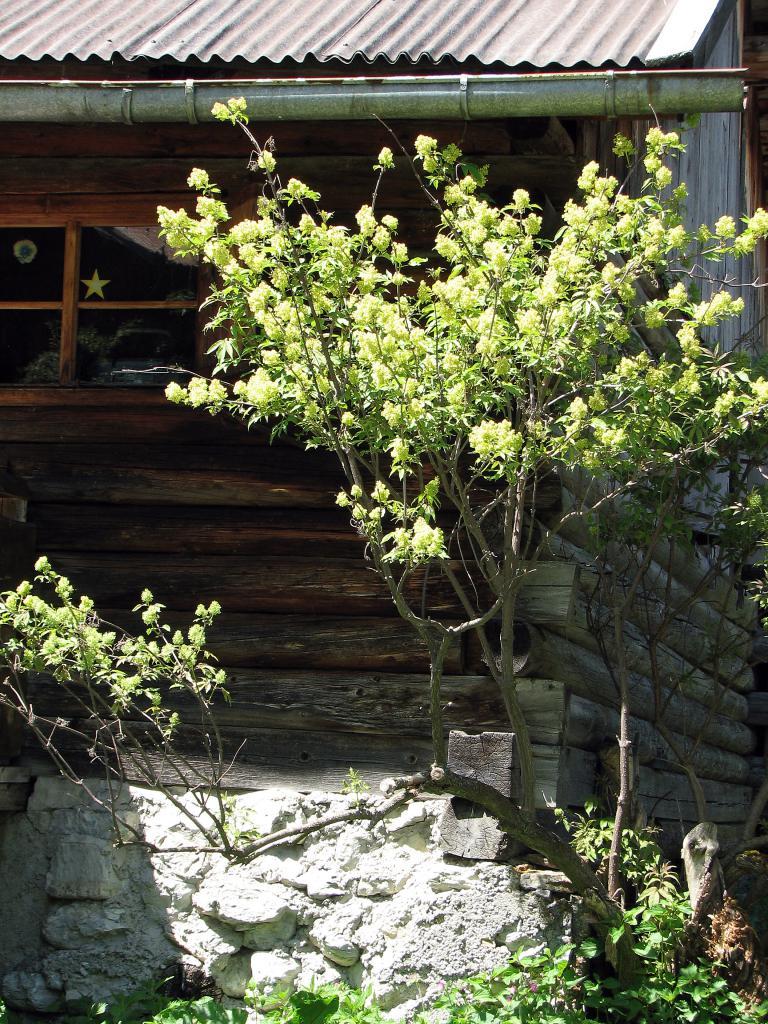 roter holunder sambucus racemosa. Black Bedroom Furniture Sets. Home Design Ideas