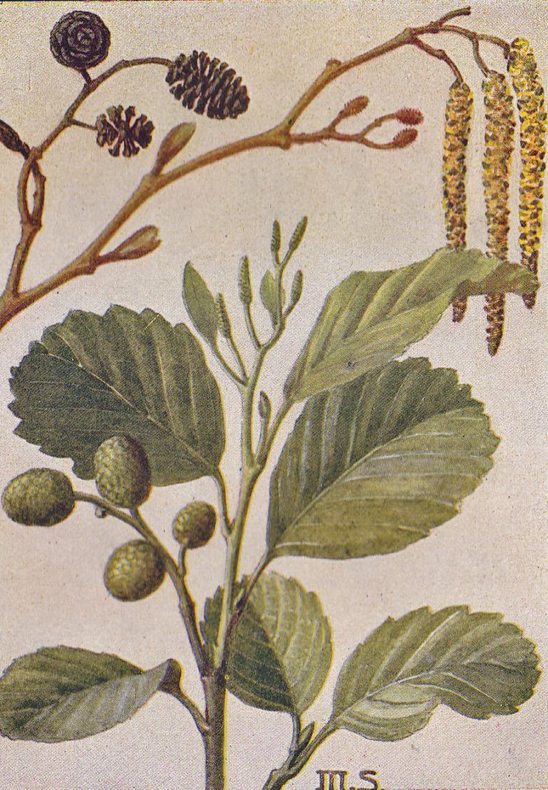 Schwarz-Erle, Alnus glutinosa