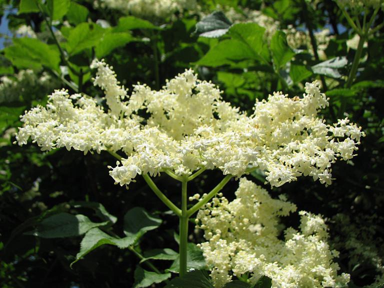Schwarzer holunder for Obstfliegen in pflanzen