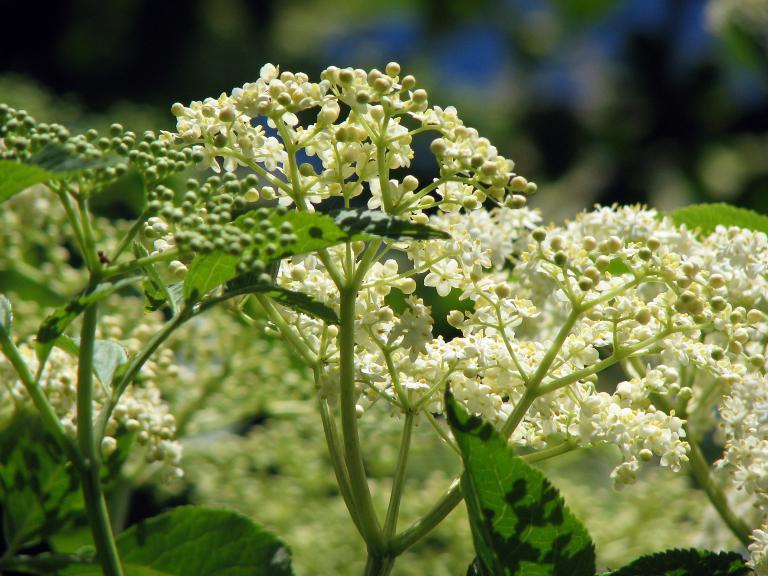 Schwarzer holunder sambucus nigra for Fruchtfliegen in pflanzen