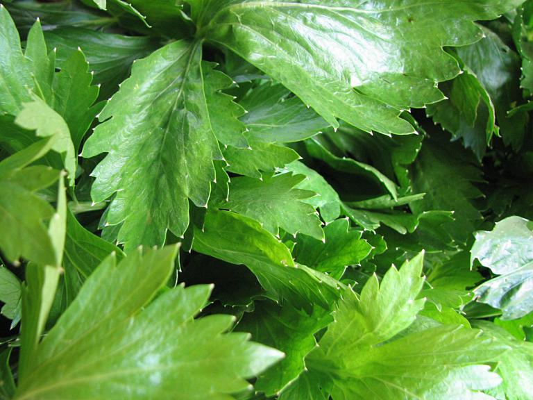 Küchenzwiebeln Pflanzen ~ stangensellerie, apium graveolens var dulce