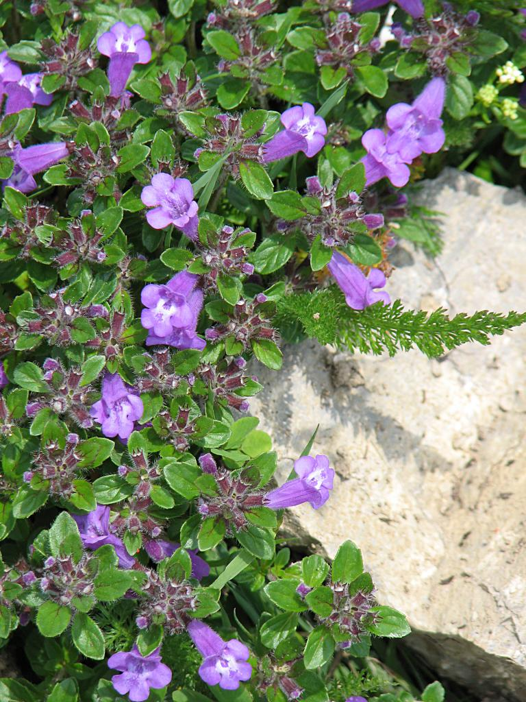 Lila Blumen Bestimmen: Kühles