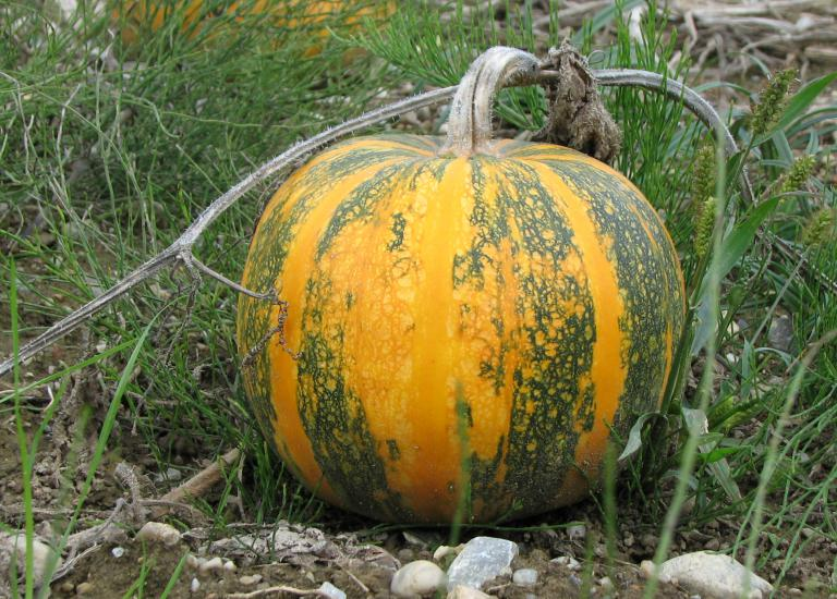 Steirischer Ölkürbis | Cucurbita pepo var. styriaca