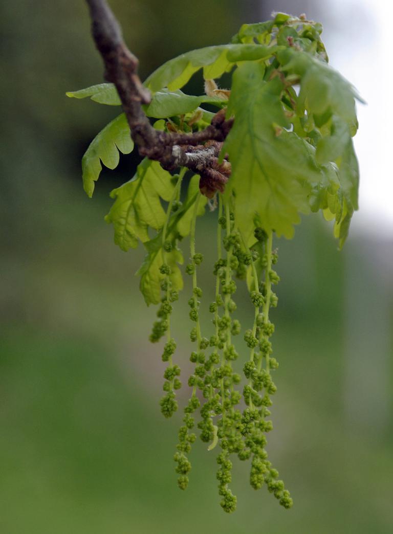 stieleiche quercus robur oak