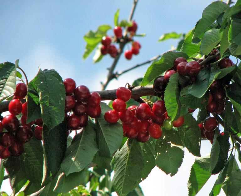 Top Süßkirsche | Prunus avium AG66