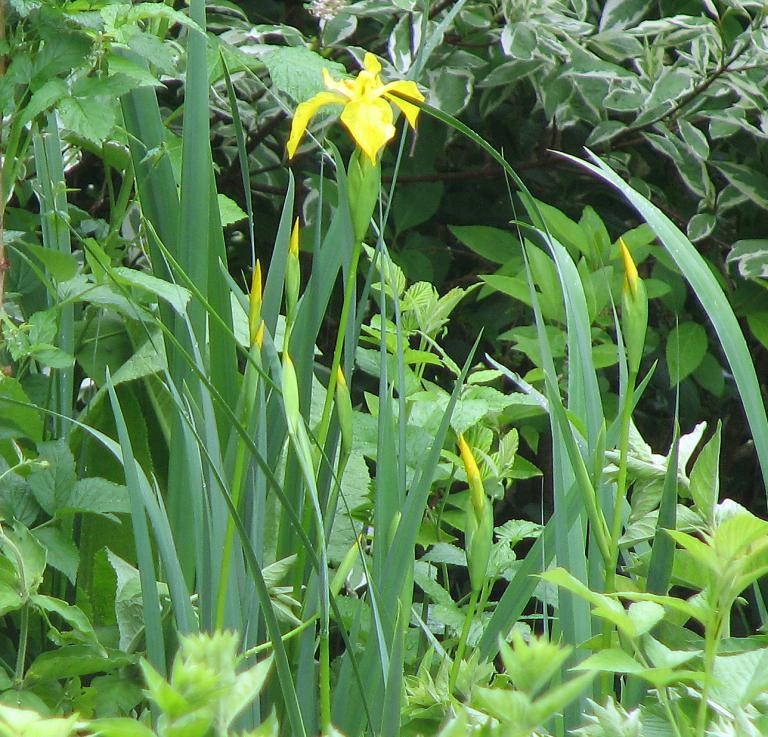 sumpfschwertlilie iris pseudacorus. Black Bedroom Furniture Sets. Home Design Ideas