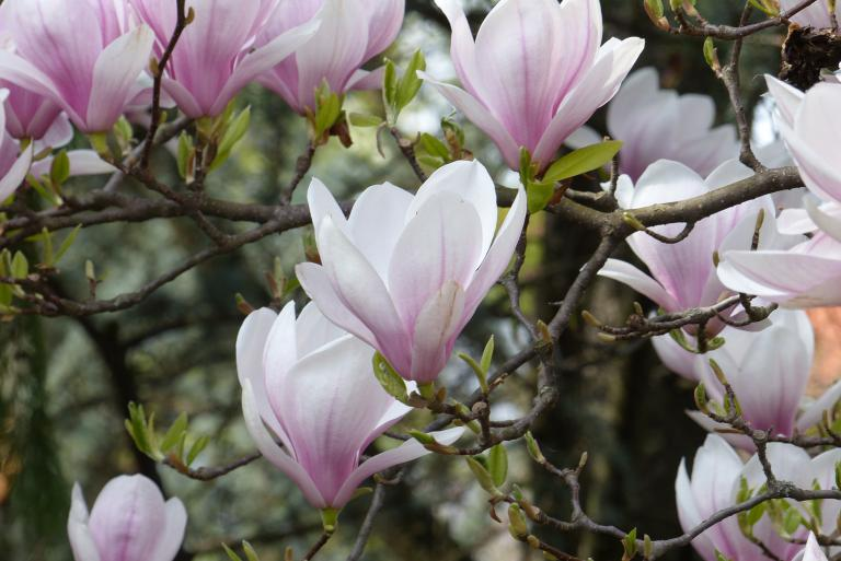 tulpenmagnolie magnolia soulangeana. Black Bedroom Furniture Sets. Home Design Ideas