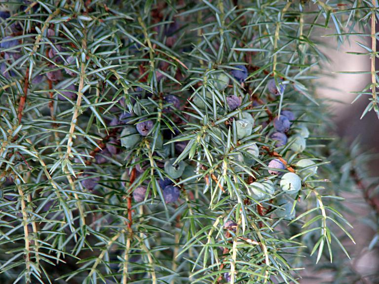 Wacholder, Juniperus communis