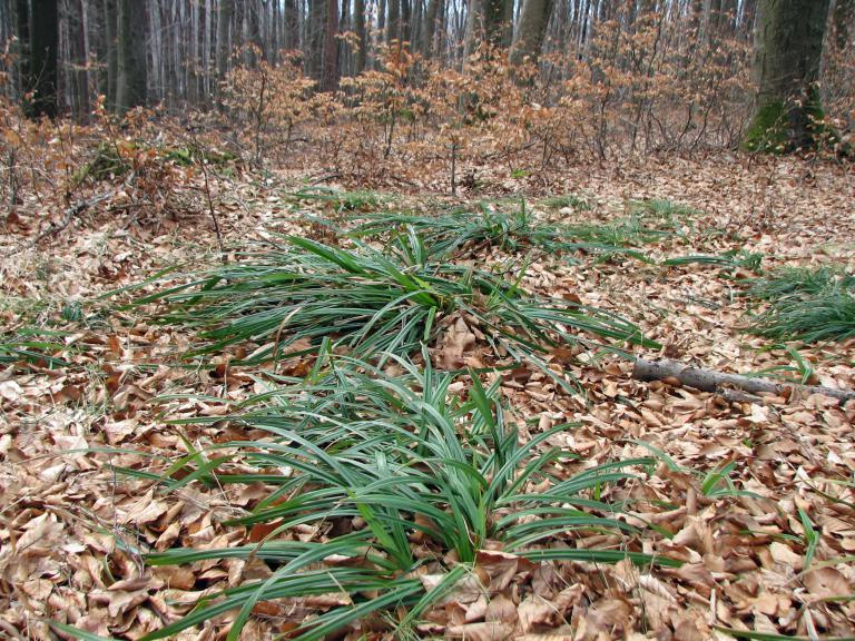 Wald-Simse, Scirpus sylvaticus