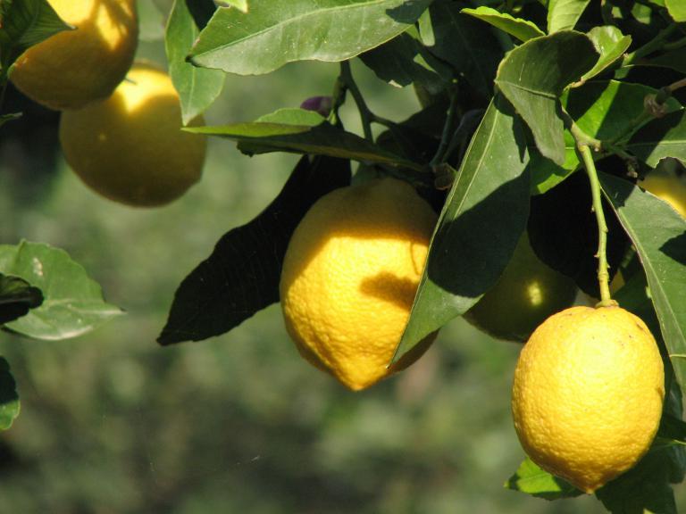 zitrone citrus limon. Black Bedroom Furniture Sets. Home Design Ideas
