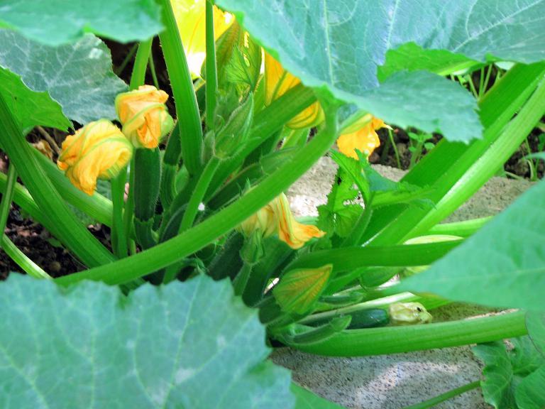 zucchini cucurbita pepo subsp pepo convar giromontiina. Black Bedroom Furniture Sets. Home Design Ideas