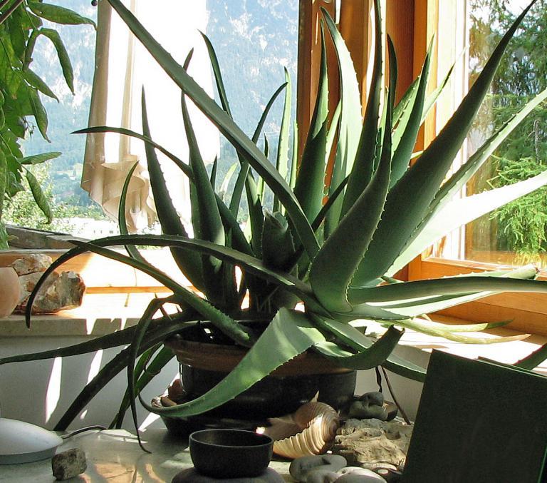 aloe vera pflanze. Black Bedroom Furniture Sets. Home Design Ideas