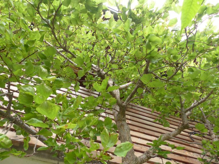 Marillenbaum Aus Einem Kern Ziehen
